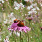 Dagpauwoog vlinder op zonnehoed in bloemen border