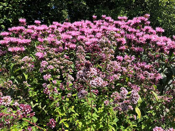 Wilde marjolein (Origanum vulgare) en Bergamot (Monarda Croftway pink)
