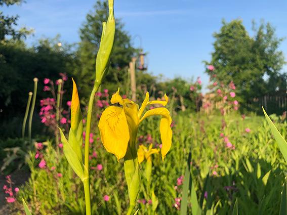 Natuurlijke tuin met gele lis en Silene