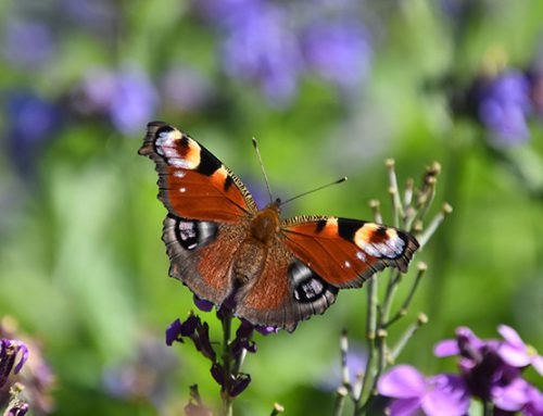 Vlindervriendelijke tuin ontwerpen