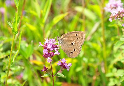 Maai-minder-strak-vlinder-in-gazon-op-bloem.jpg